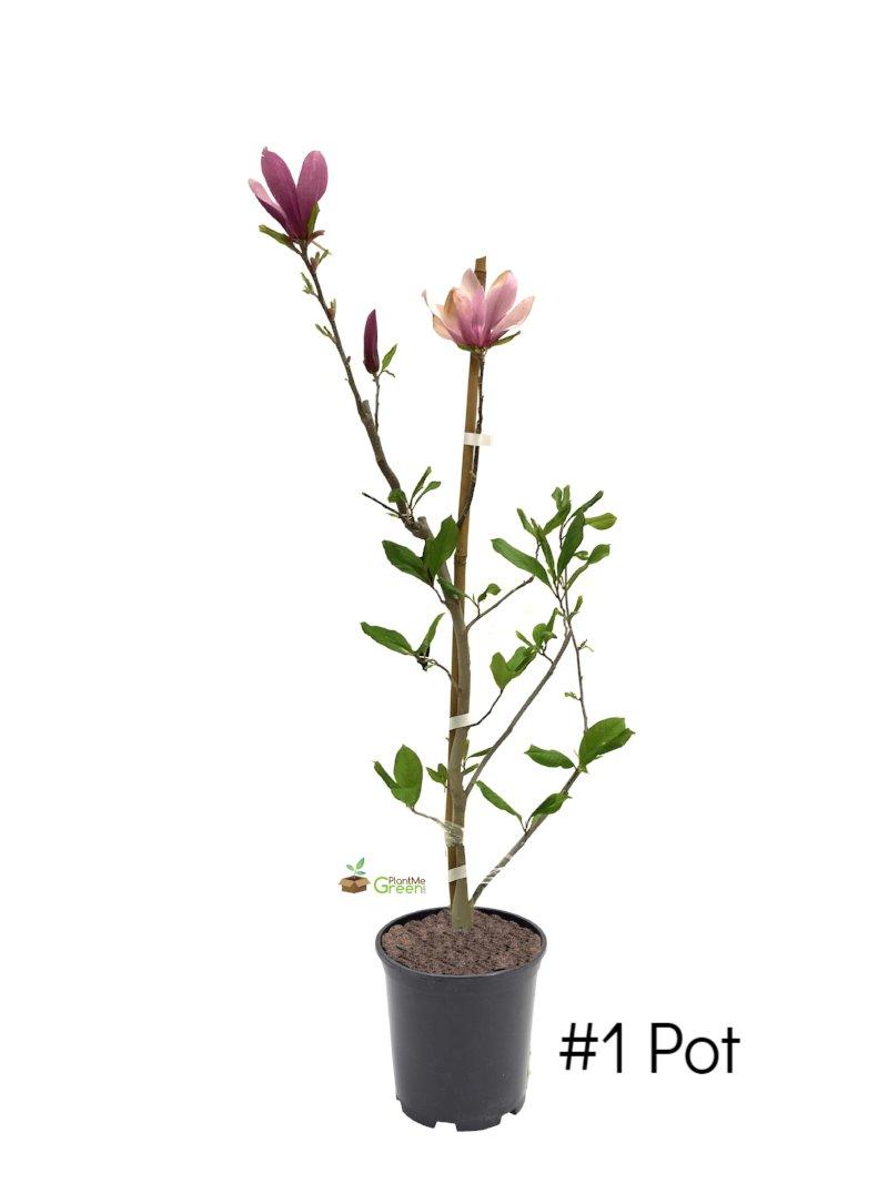 magnolia cameo planting instructions